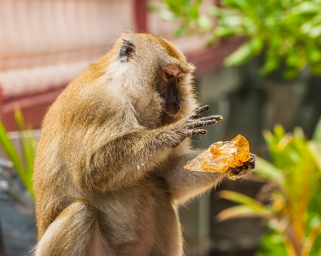 Monkey eating piece of bread against blurred background  photo