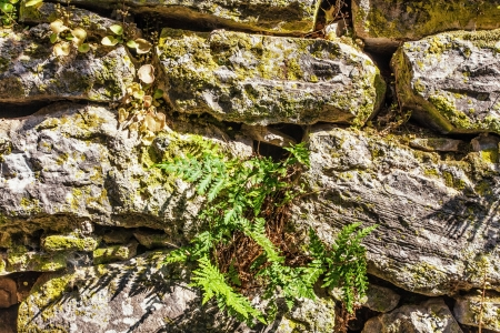 fern and moss on old stones wall  photo