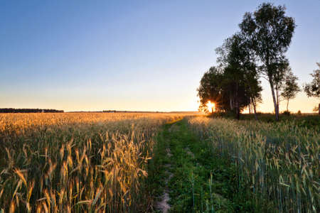 coloful: Coloful sunset in summer field with rye Stock Photo