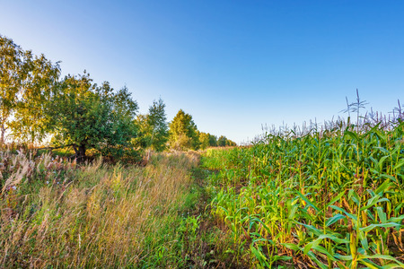uncultivated:  border of plantation of fodder corn and uncultivated field Stock Photo