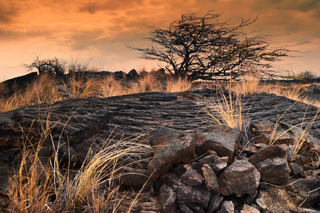 hawaii sunset: lonely tree and a dry grass in the field of lava at sunset. Big Island. Hawaii