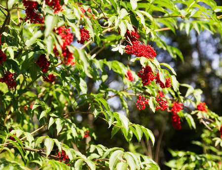 clusters: bush with clusters of red berries - elderberries