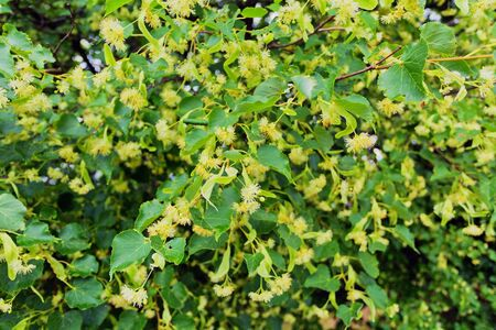 limetree: Linden blossoms at tree in spring time