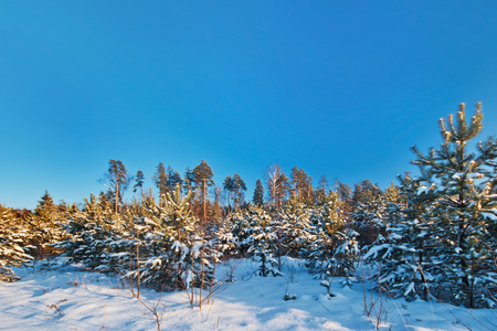 Winter forest in sunset lights. Nature background.