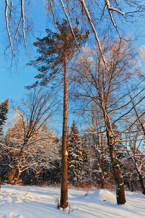 Winter forest under the deep blue sky