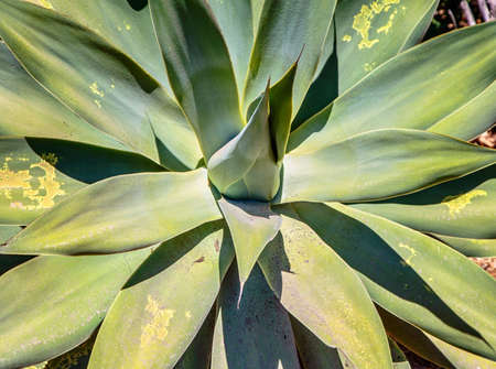 Close up of agave plant, green leaves with yellow spots .Abstract floral .