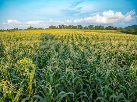 champ de mais: Cornfield farm