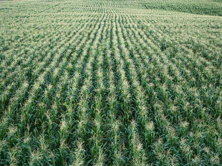 champ de maïs: ferme Cornfield Banque d'images