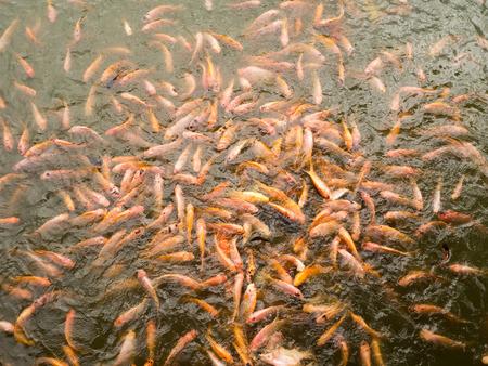 koi: Many fish in the fish pond Stock Photo