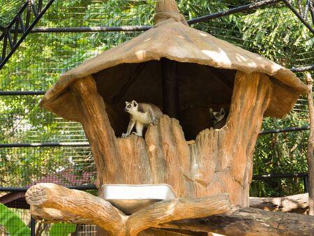 Lemur in the zoo, thailand