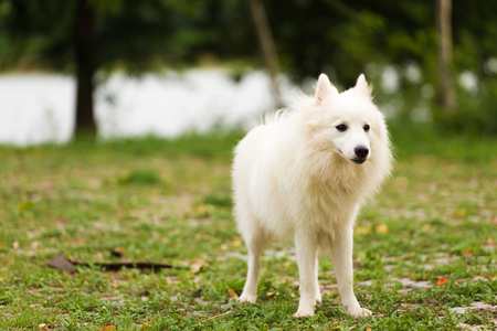 White dog playing in the garden or park Stock Photo
