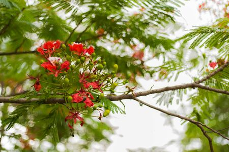 A tree full of bright shinning with red flowers of Cassia fistula Stock Photo