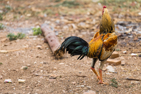 Gamecock yellow and black tail on green nature background