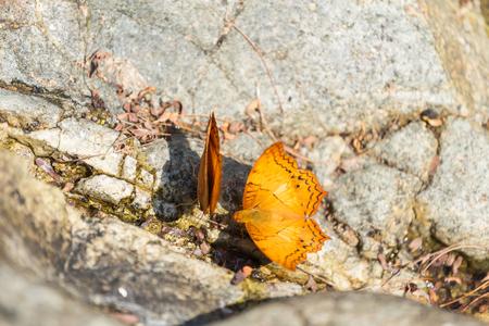 Beautiful orange butterfly on the rock in the forest. 版權商用圖片