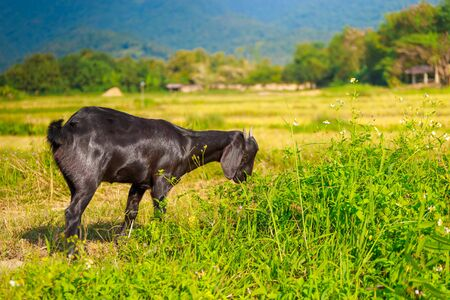 A young black goat eating the grass in a meadow