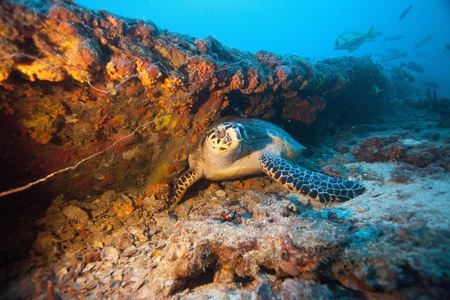 Turtle on shipwreck photo