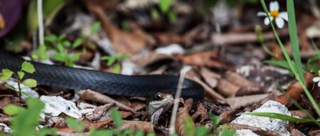 Black water snake slithering in the leaves Stock Photo