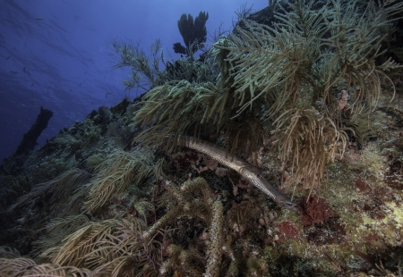 ship wreck: A Trumpet fish on the Benwood hiding in coral in Key Largo, Florida. With a blue water background