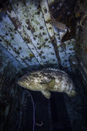 ship wreck: A Goliath Grouper inside the Spiegel Grove in Key Largo, Florida. With a fishing line hanging from its mouth.