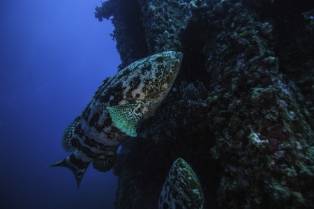 Two Goliath Groupers on the Spiegel Grove in Key Largo, Florida. Swimming along the crane towers with a blue water background photo
