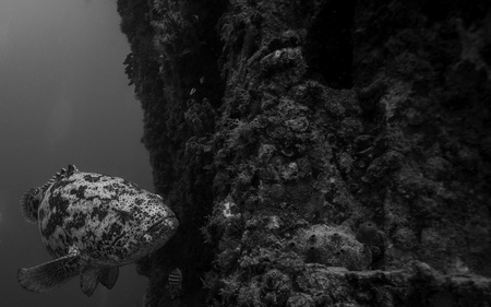 ship wreck: Goliath Grouper on the wreck of the USS Spiegel Grove in Key Largo, The third largest artificial reef in the world