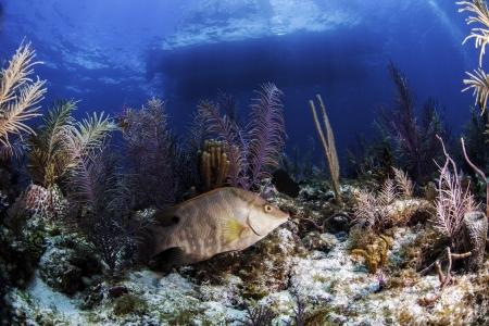 llave de sol: Los arrecifes de coral de América del Norte Foto de archivo