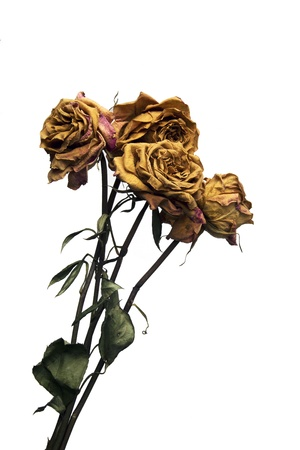 flower art: Dead Long Stem Roses Stock Photo