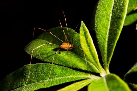 daddy long legs: Daddy Long legs resting on a green leaf in Alabama