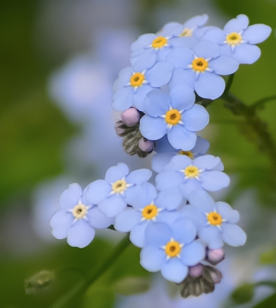 青 1 の花