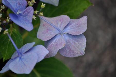 2 ツルニチニチソウの花