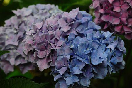 花が紫、青 1 写真素材