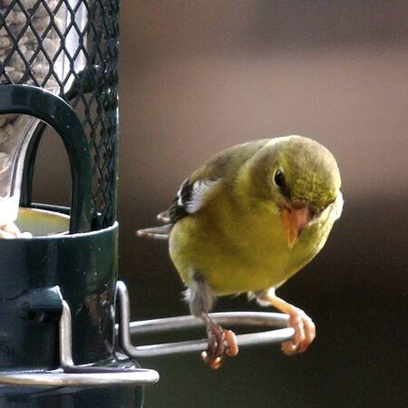 flickr: Little bird, big feet  Female American Goldfinch  Germantown, Maryland
