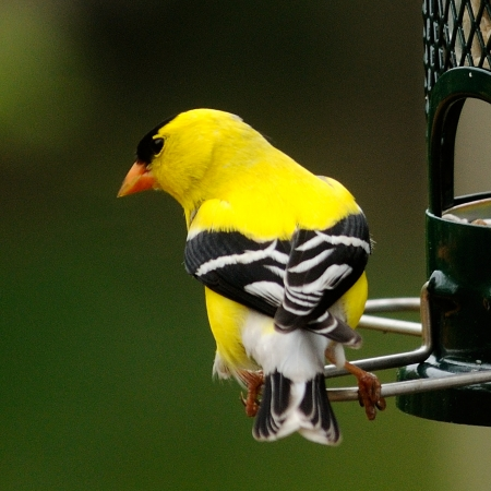 md: Yellow male Finch  Germantown, MD  Stock Photo