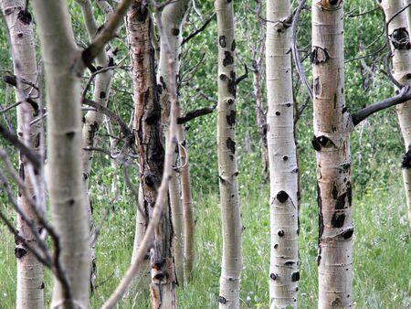 Aspen Trees in a field Stock Photo