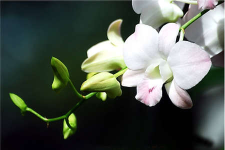phal: orchid white