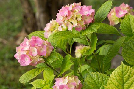 hydrangea macrophylla: Hydrangea Hydrangea macrophylla