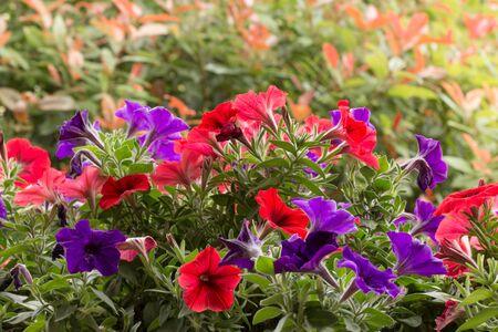 petunias: Petunias in bloom Stock Photo