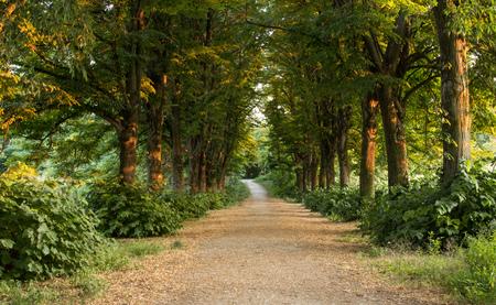 treelined: tree-lined path at sunset Stock Photo