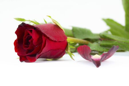 beautiful red rose on a white background Stock Photo - 12387609