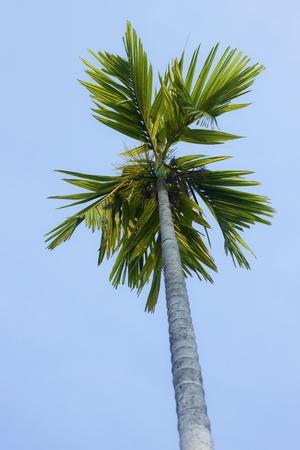 Betel nut trees on blue sky  Stock Photo