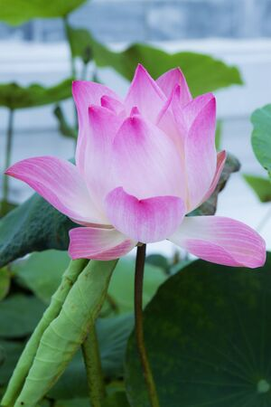 pink Lotus flower beautiful lotus  photo