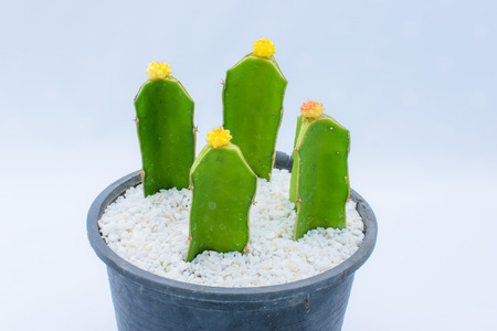 Colorful cactus flower  pot on isolated background