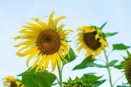 sunflower (sunflower, sun, flower)