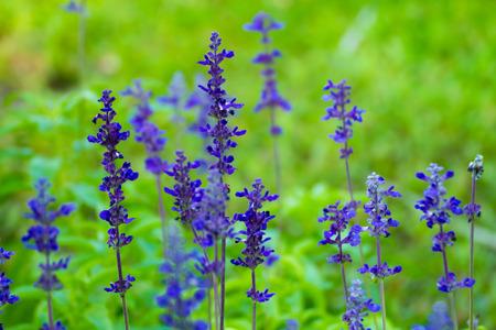 Gardens with the flourishing lavender (purple)