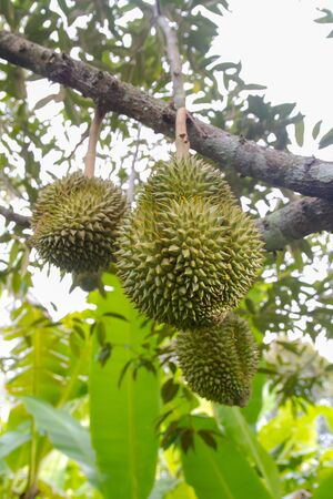 durian on the durain trees in East of Thailand Stock Photo