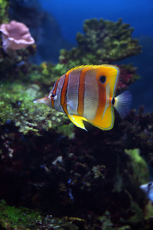 butterflyfish: Colourful Sixspine butterflyfish floats in an aquarium