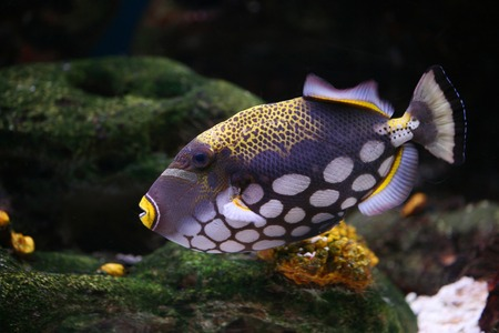 Spotty greater triggerfish floats in an aquarium Stock Photo - 1615141