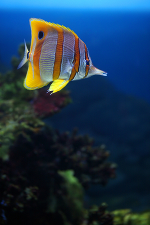 exoticism: Colourful Sixspine butterfly-fish floats in an aquarium