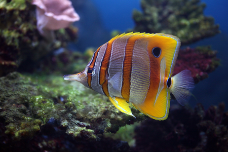 butterflyfish: Colourful Sixspine butterfly-fish floats in an aquarium