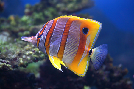 Colourful Sixspine butterfly-fish floats in an aquarium